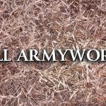 Look out for fall Armyworms!